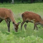 asheville wildlife- deer on the Horse Shoe Farm